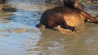 Mother water buffalo tries to save her newborn baby from drowning