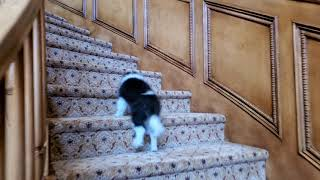 Puppy goes up stairs first time