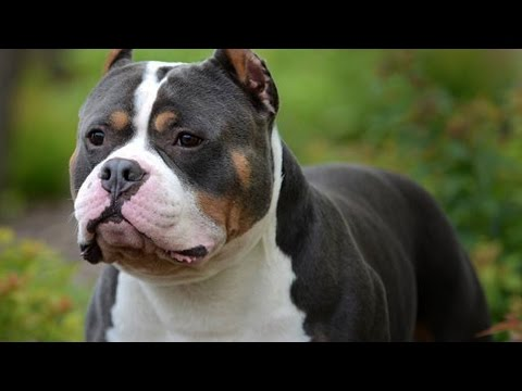 American Bully Gr Ch Beastro Takes Grand Champion Class