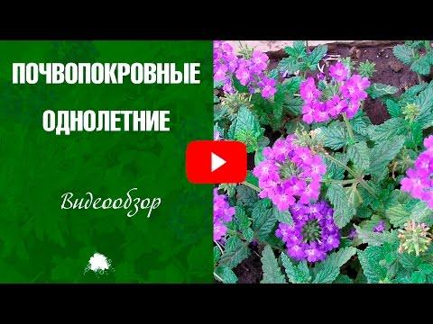 Однолетние почвопокровные цветущие растения 🌼 Обзор и названия цветов