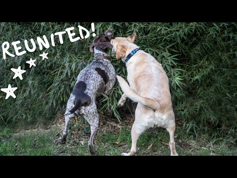 German Shorthaired Pointer and Labrador REUNITE on the trails