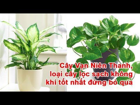 Cây Vạn Niên Thanh, loại cây lọc sạch không khí tốt nhất đừng bỏ qua