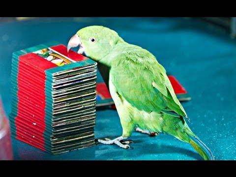 Kili Josiyam Parrot Astrology - Tarot card Reading 1.0 Update