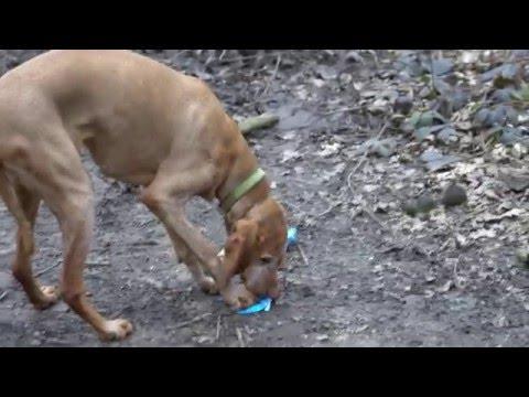 13 year and 11 year old Vizsla dog walks on the heath