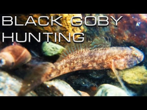 Black Goby Hunting