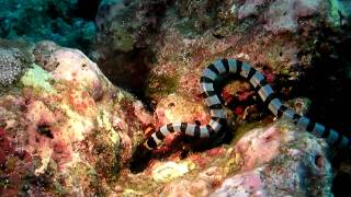Sea Snake vs Moray Eel, Diving Similan Thailand, Underwater Video HD