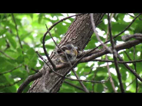 American Redstart preening and calling (2nd video) Echo Valley SK