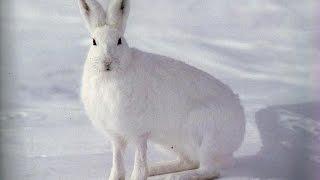 Петли на зайца, охота на зайца ( Установка петель ) Installation Loop(Многие зрители просили снять установку на зайца петель. Если будет пользоваться спросом видео, сделаю..., 2016-01-05T02:00:01.000Z)