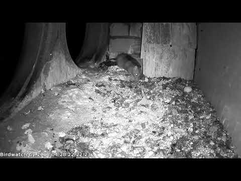 Вопрос: Какое животное может воровать и закапывать в землю яйца?