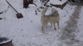 "Аляскинский Кли Кай и Хаски - наглядная разница | Питомник Аляскинских Кли Каев ""Song of Ice"""