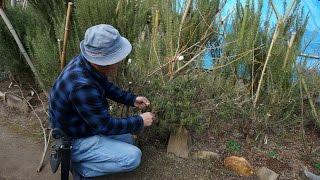 12月に竹とシュロ縄を使って、ローズマリーの雪よけをしました↓ https:/...
