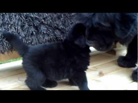 Newfoundland puppies 4 weeks old