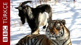 Kaplan ile keçinin dostluğu - BBC TÜRKÇE