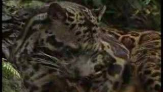 Borneo Cloud Leopard