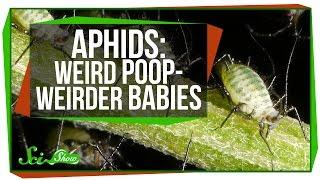 Aphids: Weird Poop, Weirder Babies