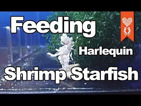 Feeding The Harlequin Shrimp A Chocolate Starfish Leg