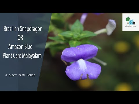 Brazilian Snapdragon or Amazon Blue Plant Care Malayalam  Glory Farm House