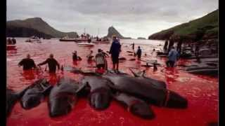Whale and Giraffe Massacre in Denmark - Danimarka
