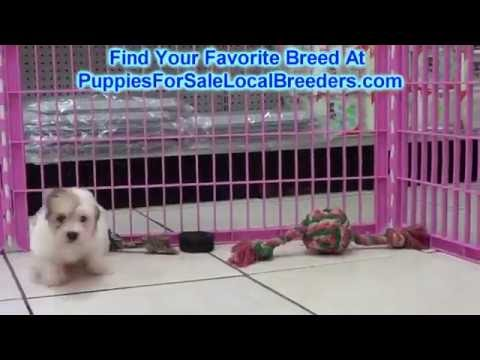 Coton De Tulear, Puppies For Sale, In Montgomery, Alabama, AL, 19Breeders, Hoover, Auburn