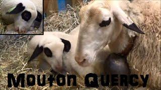 Mouton Causse du Lot (Quercy) - Ovis aries - Linnaeus, 1758 - Salon de l'Agriculture 2015 - 03/2015