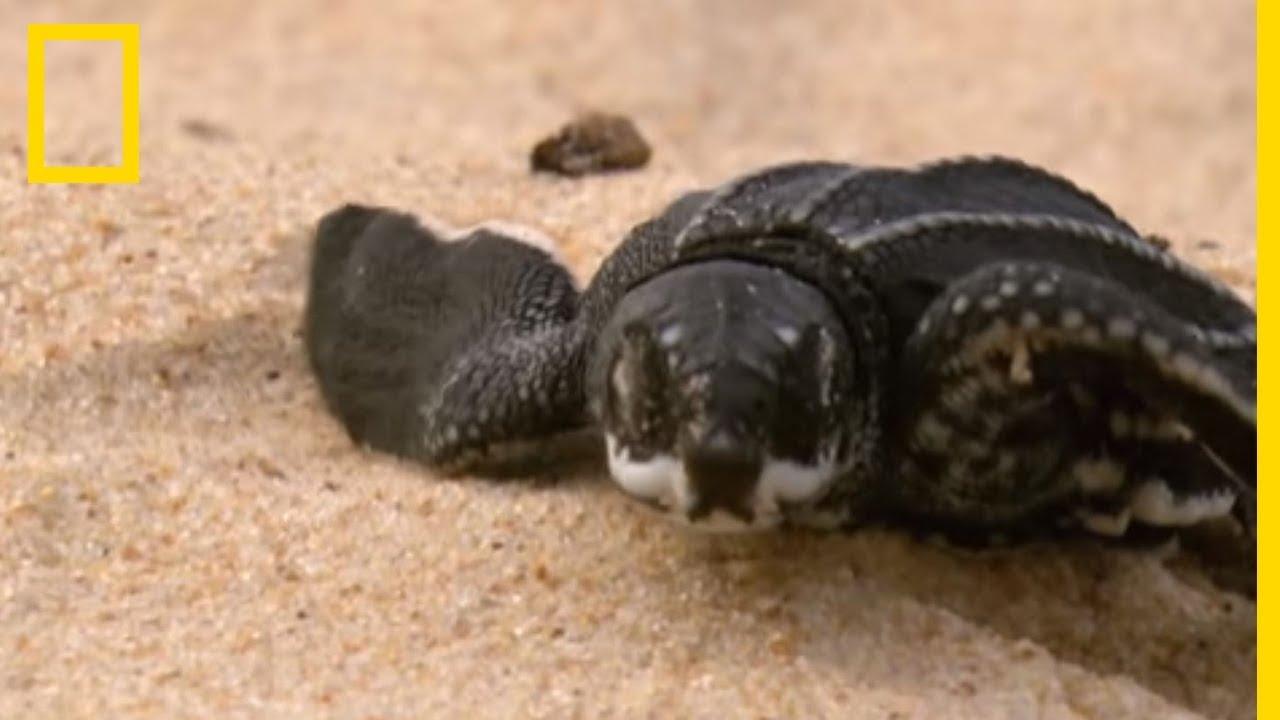 Les premiers pas de bébés tortues de mer
