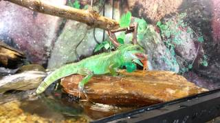 Chinese water dragon eats gold fish