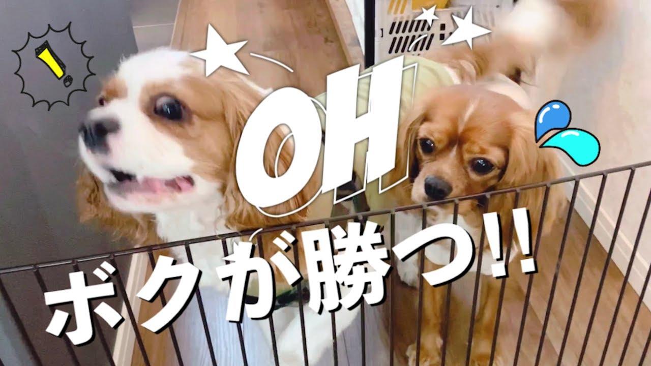 【キャバリア】アメVSサクラのお菓子争奪戦!!!!!!!!!