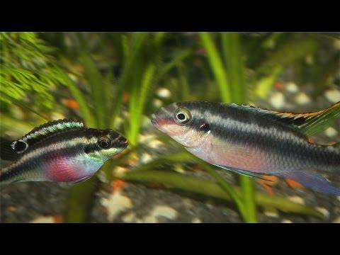 Species Profile # 20: The kribensis Cichlid (Pelvicachromis pulcher)