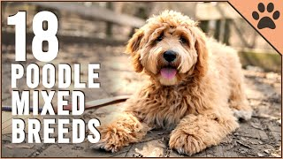 18 Poodle Mix Breeds That Will Melt Your Heart  Part 2 | Dog World