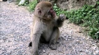 長野県下高井郡の地獄谷野猿公苑。 ここの猿はかなり人間慣れしているよ...