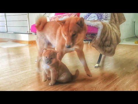 Potat doin a fascionate - MLIP / Ep 91 / Shiba Inu puppies