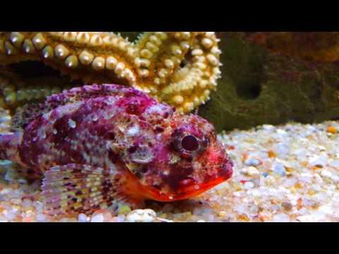 Venomous fish (Portugal and Europe)