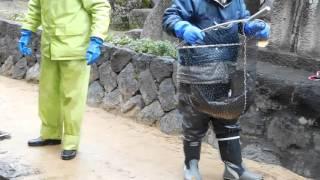 飛騨古川 瀬戸川の鯉