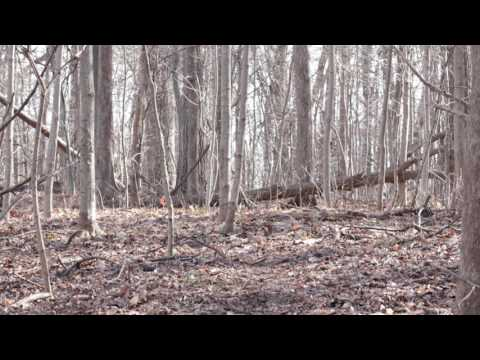 Pileated Woodpecker drumming sound