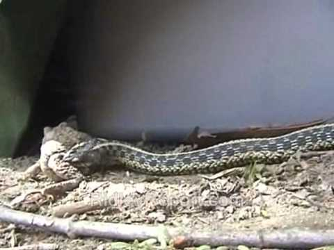 Toad vs. Snake (Bug Flick, nature videos)