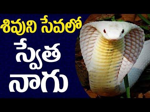 Hooded Snake Worshiped Shiva Lingam in Srikakulam || 2day 2morrow