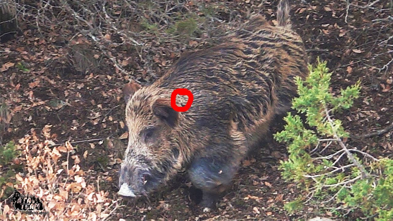 Wildboar The Best of The Best Shot
