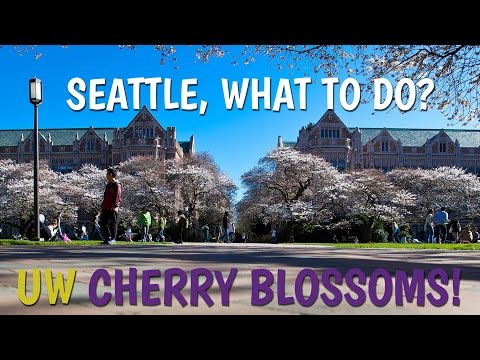 Seattle, What to do? University of Washington Cherry Blossoms!