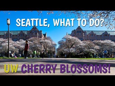 Seattle, What to do? University of Washington Cherry Blossoms!
