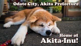 Land of Akita-Inu! Odate City in Akita Prefecture