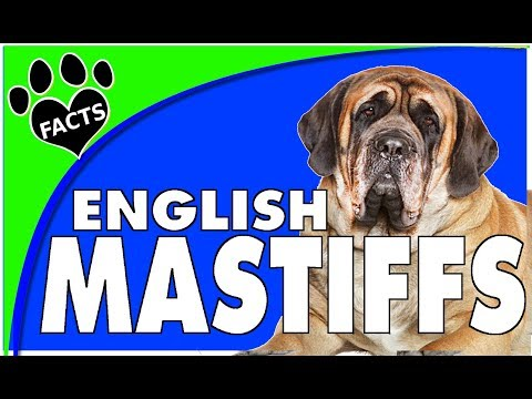 Dogs 101: English Mastiff Biggest Dog Breed Fun Facts- Animal Facts