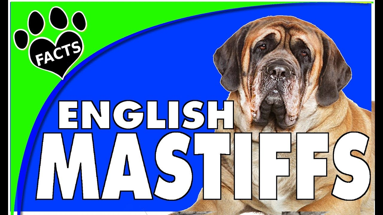 Dogs 101: English Mastiff Biggest Dog Breed Fun Facts- Animal Facts