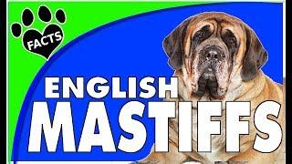 Dogs 101: English Mastiff Biggest Dog Breed Fun Facts Animal Facts