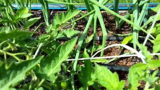 Выращивание помидор методом И.М. Маслова. http://globusbm.com/(http://globusbm.com/ Выращивание помидор по методу Маслова, перерощенная рассада высаживается лежа с прикопкой..., 2014-05-26T10:13:50.000Z)