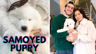 Getting A Samoyed Puppy  The First 24 Hours