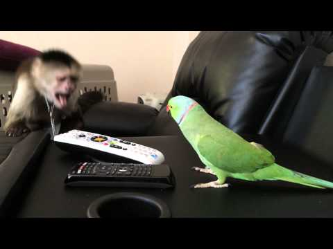 Max the Capuchin Monkey and Coco the Talking Indian Ringneck Parakeet (Parrot)