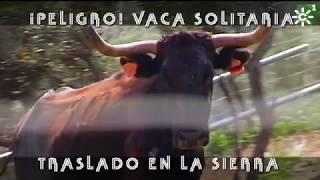 Rescate a caballo de una VACA brava solitaria | Toros para todos