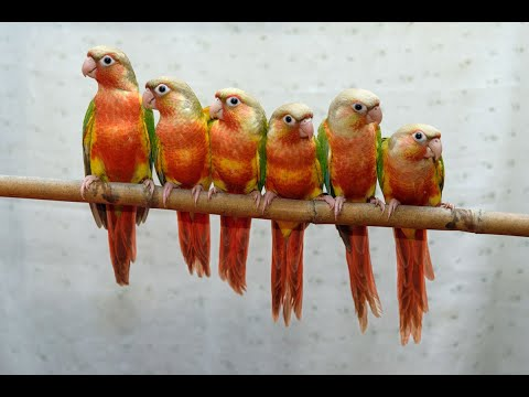 Red factor pineapple conure (Red faced)