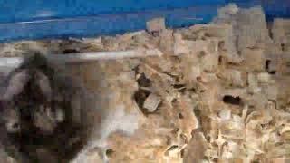 Джунгарские хомяки спариваться (Джуна и Джери)