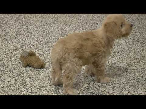 Cockapoo Puppies for Sale from Dyer Farms